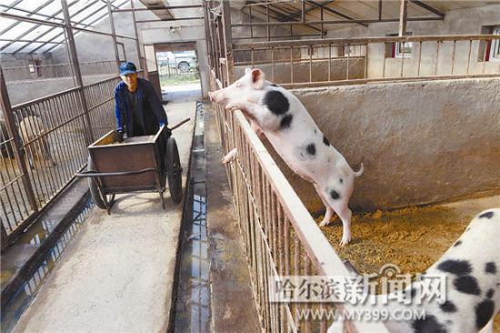 """哈市规模化生猪养殖场有1200余家,据不完全统计,推出生态猪""""年猪代"""